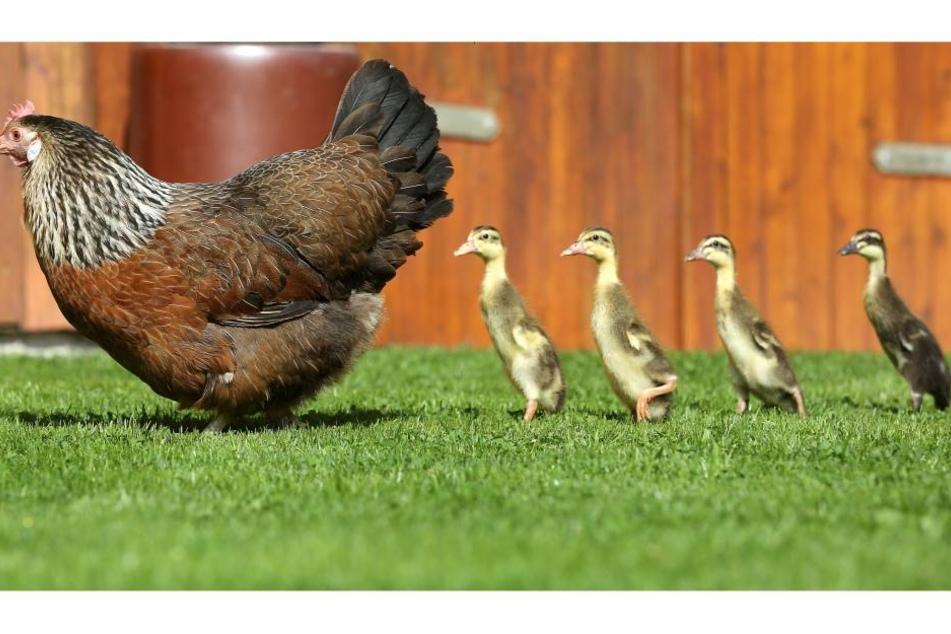 Das Huhn hat die vier Enteneier ausgebrütet und zieht die Enten jetzt groß.