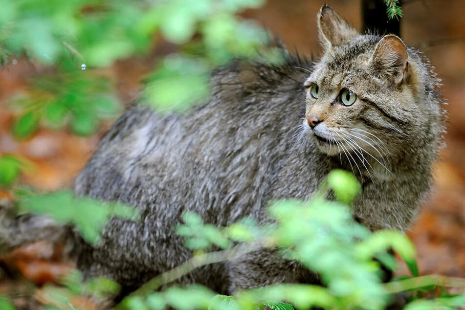 Thüringen will die Lebensräume von Wildkatzen besser verbinden.