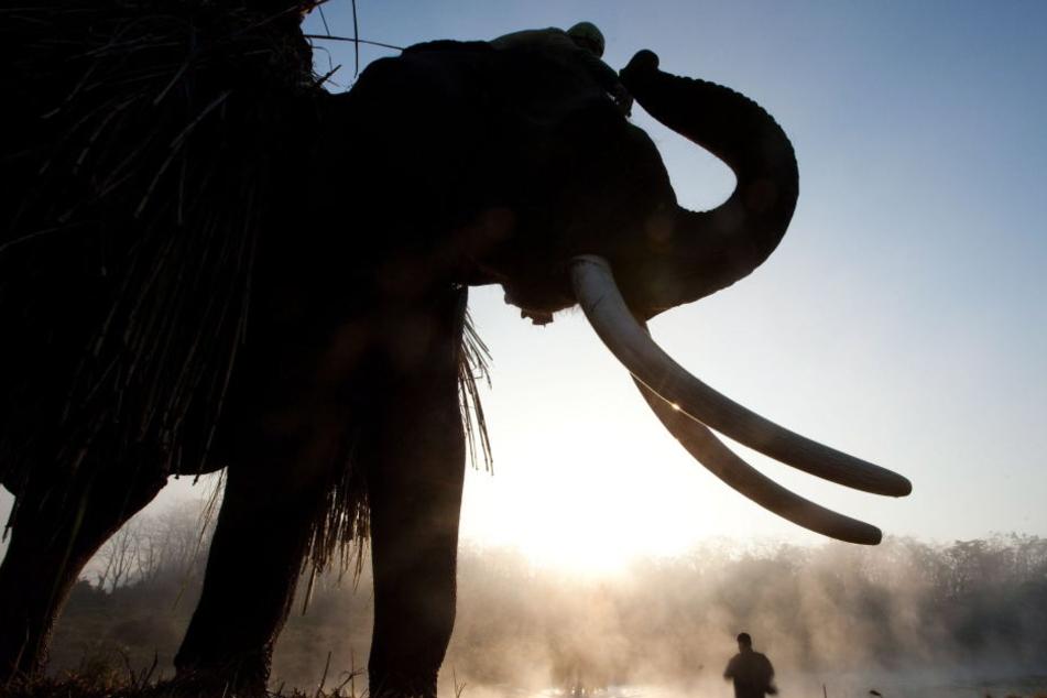 Das Tier wurde wütend, weil ein Tourist ihm am Schwanz gezogen hatte. (Symbolbild)