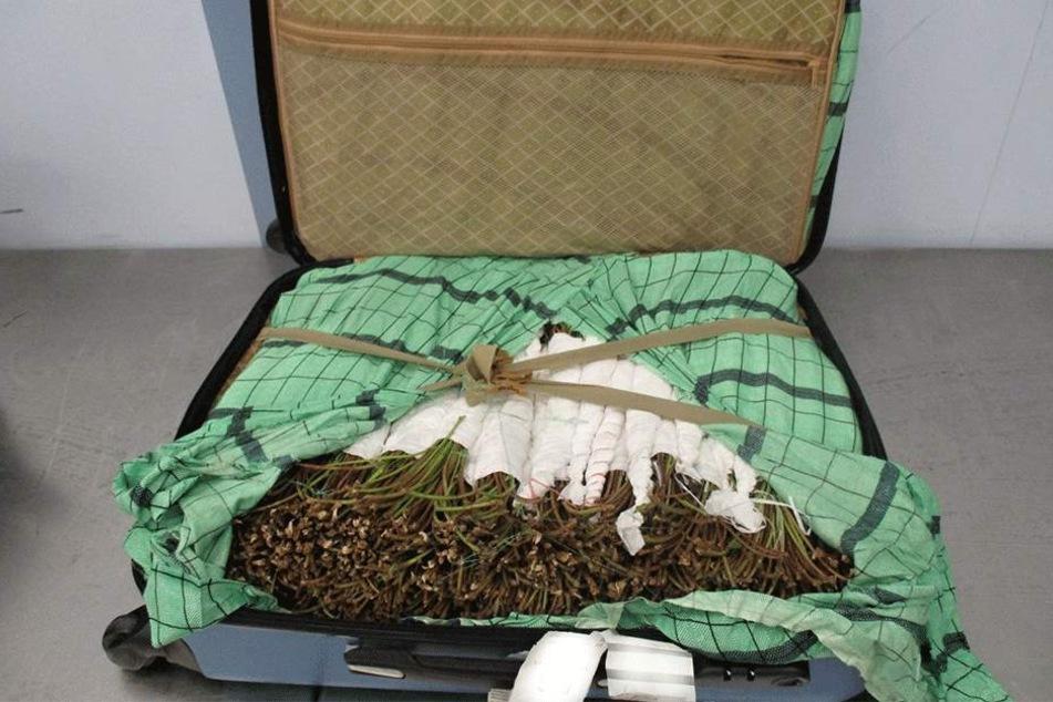 In einem Koffer auf dem Flughafen Prag wurde jüngst eine große Menge Khat entdeckt.