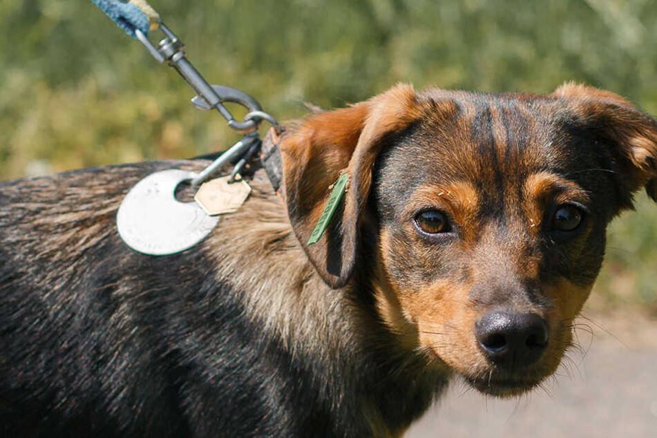Mann legt Hund an die Leine und schleudert ihn durch die Luft