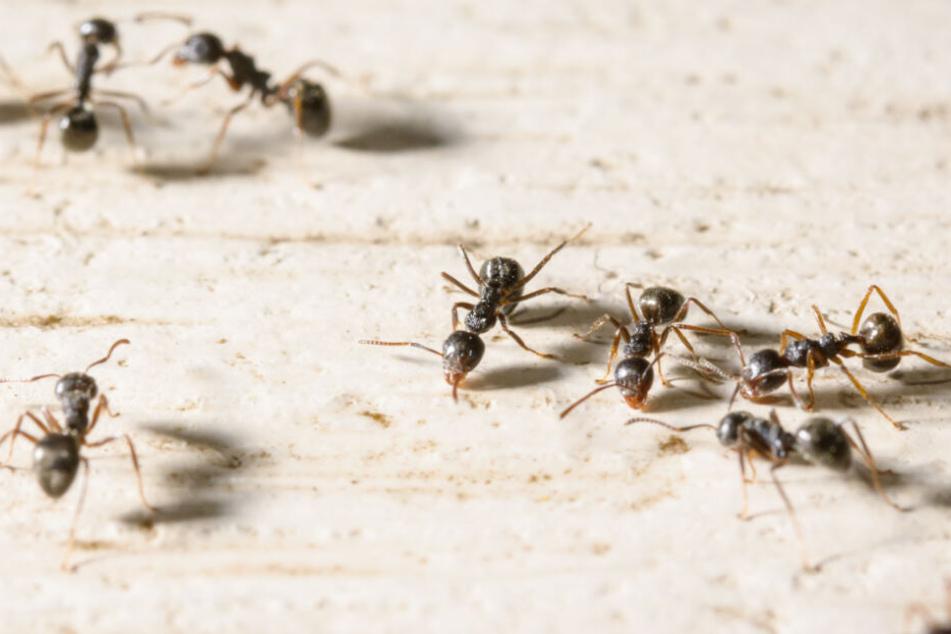 Ameisen wagen sich auf Futtersuche auch in Häuser und Wohnungen rein.