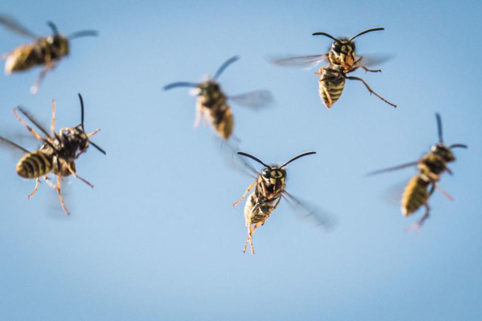Bei trockenem Wetter fliegen Wespen länger draußen herum.