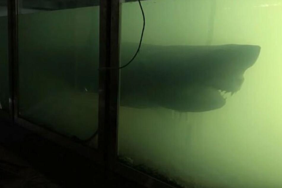 Riesiger Weißer Hai in verlassenem Tierpark wird endlich gerettet!