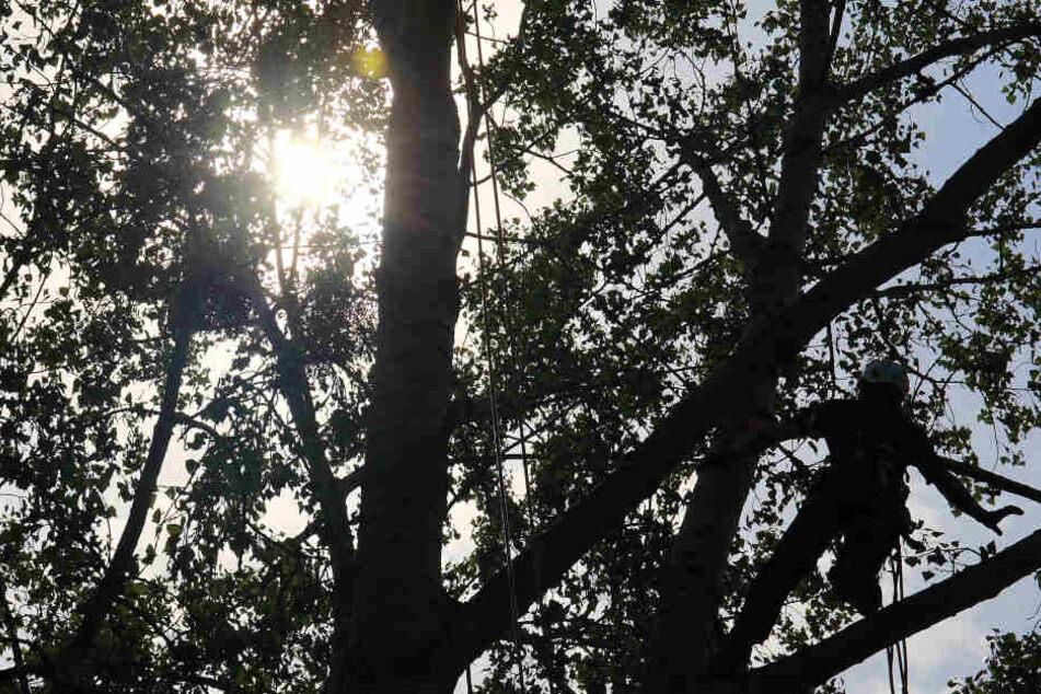 Der Mann verunglückte in zwölf Metern Höhe, als er eine Baumkrone absägen wollte. (Symbolbild)