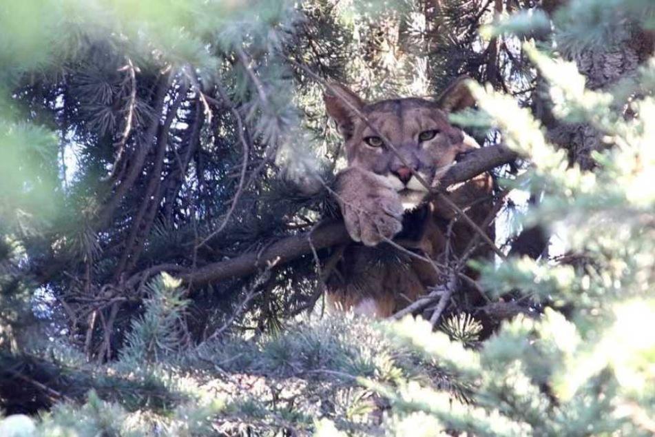 Der wilde Puma hatte sich in einem Baum verschanzt.