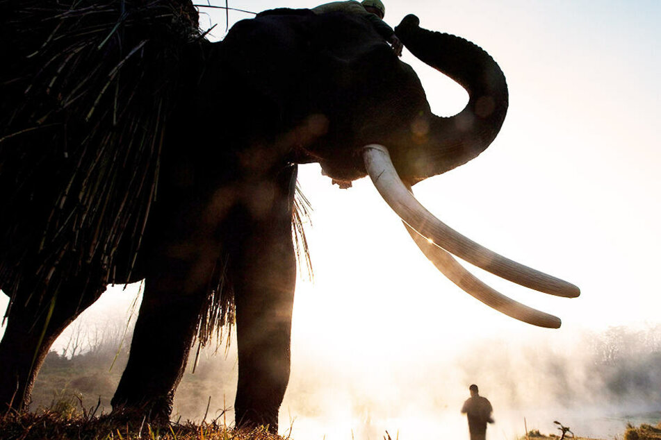 Ein Elefant im Chitwan-Nationalpark in Nepal. Oft sind diese Tiere auch Touristenattraktionen.
