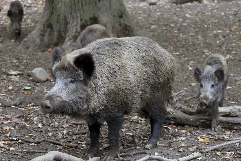 Die Anzahl nachgewiesener Fälle von Afrikanischer Schweinepest bei verendeten Wildschweinen hat sich nunmehr auf 20 erhöht. (Symbolbild)