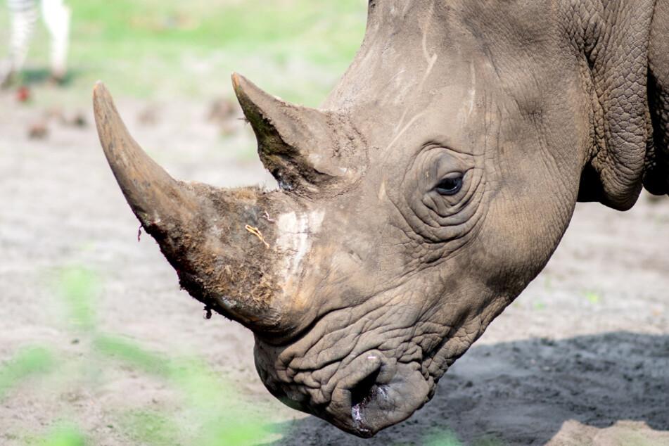 Rettet Nashorn aus Serengeti-Park seine ausgestorbenen Verwandten?