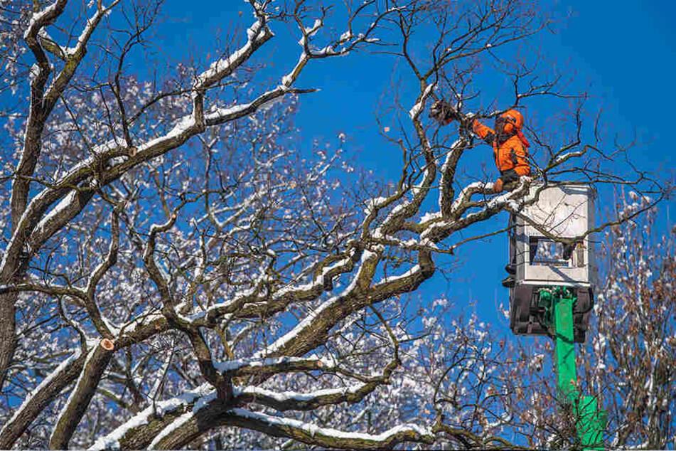 In Chemnitz holte am Montag das Grünflächenamt den Schnee von den Bäumen.