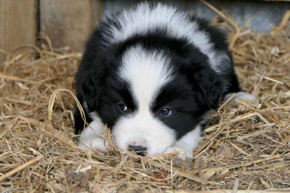 Cute little puppies will grow big and strong even on a vegan diet – but only if they are given the right nutrients.