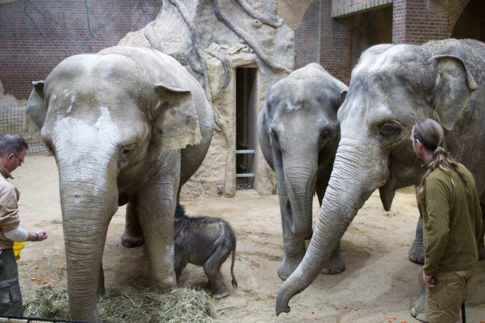 Herdenzusammenführung: Die Tanten Don Chung und Rani (r.) sollen die Aufzucht des kleinen Elefantenbullen übernehmen, der gerade bei Mutter Hoa trinken will.
