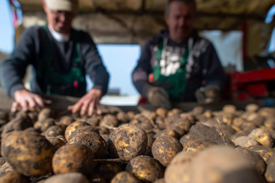 Bauern schlagen Alarm: Gehen uns jetzt die Kartoffeln aus?