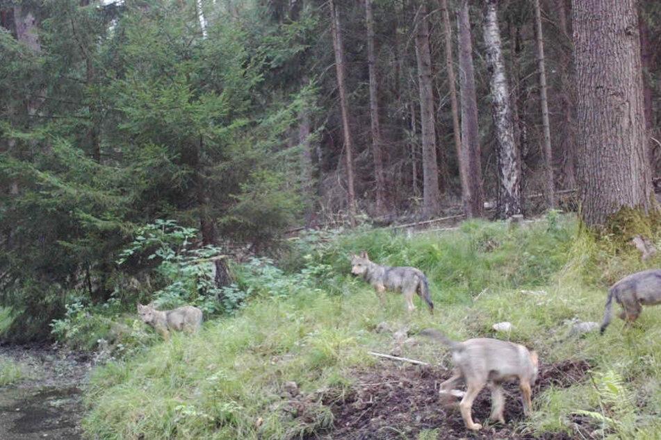 Der lebende Beweis. Vier Wölfe sind in der Heide in die Fotofalle getappt.