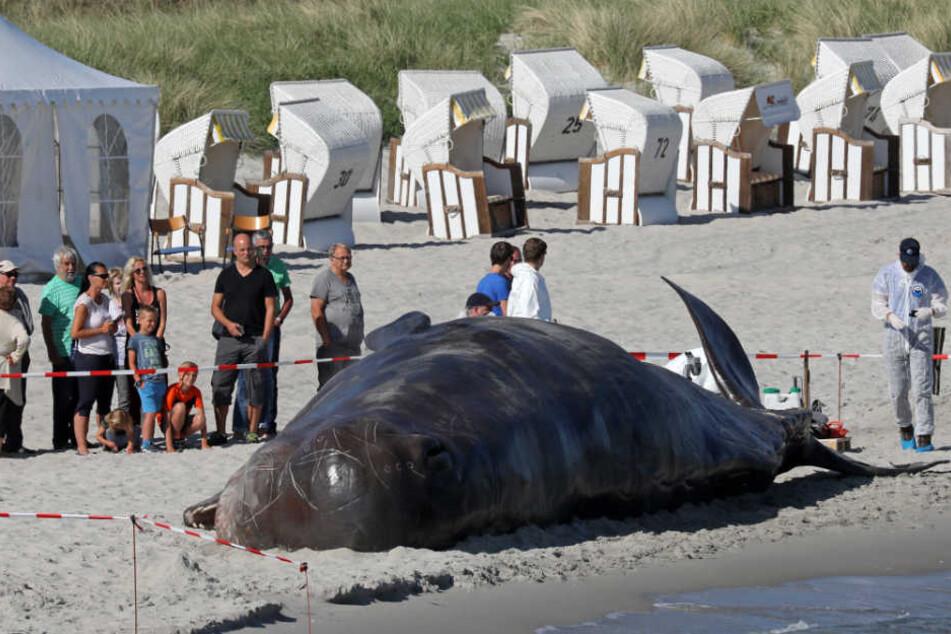 """Strandbesucher wurde am Freitagmorgen von dem """"gestrandeten Pottwal"""" überrascht."""