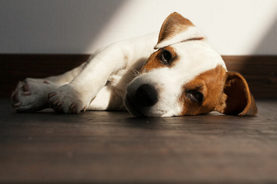 Immer mehr tote Hunde: Mysteriöse Krankheit gibt weiter Rätsel auf!
