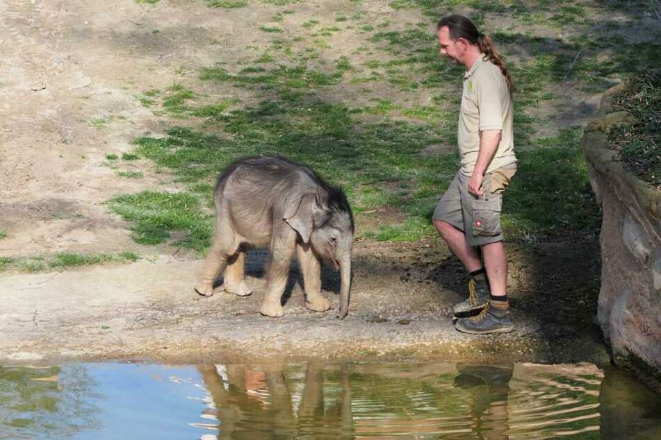 Kurzer Ausflug zur Wasserstelle: Die Besucher bekamen das Jungtier an jeder Stelle des Außenbereichs zu sehen.