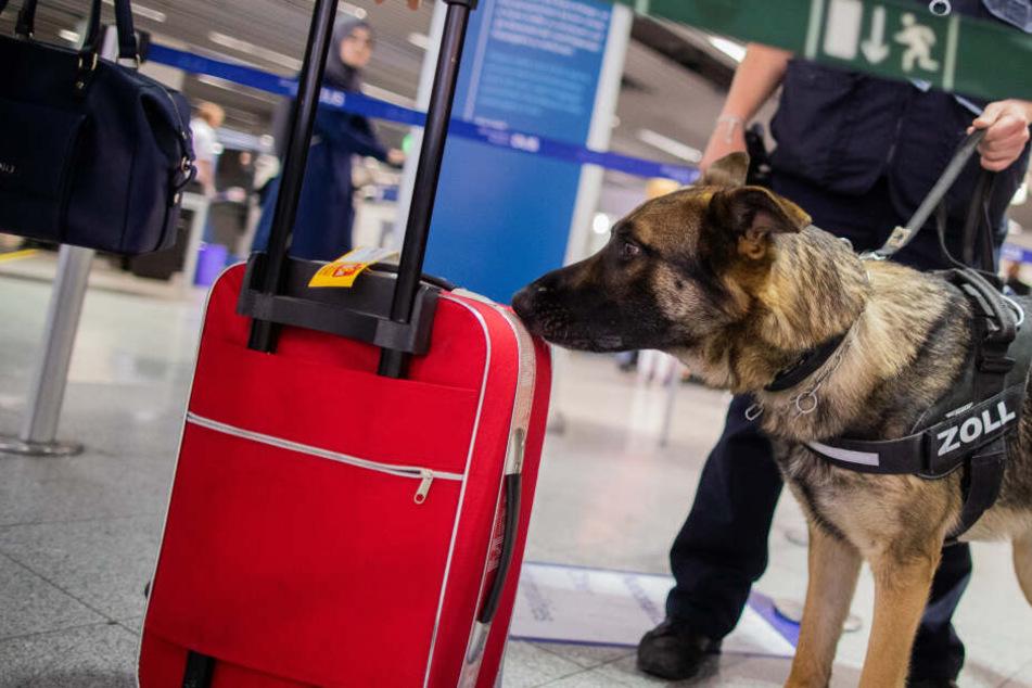 Zollhund Luke schnüffelt am Flughafen Düsseldorf an einem Koffer.