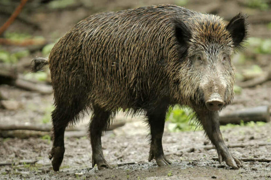 Berlin: Angst vor Tierseuche! Afrikanische Schweinepest an polnischer Grenze entdeckt!