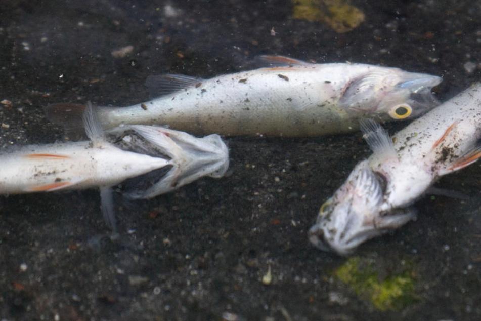 Nur ein Teil der toten Fische würde an der Wasseroberfläche treiben (Archivbild).