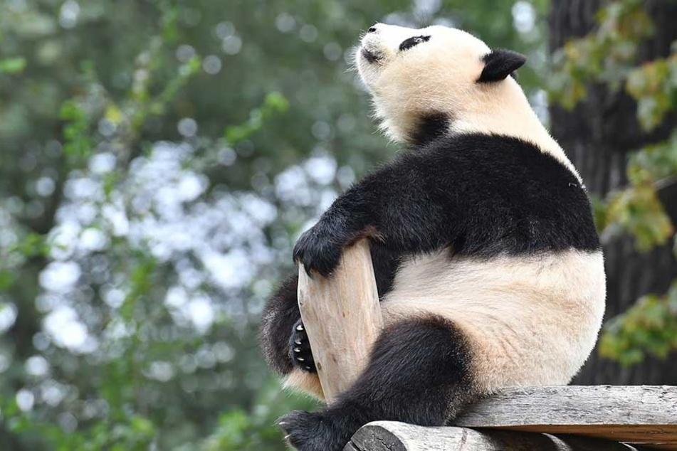 Panda-Dame im Zoo legte mit ihrem Tick alle rein