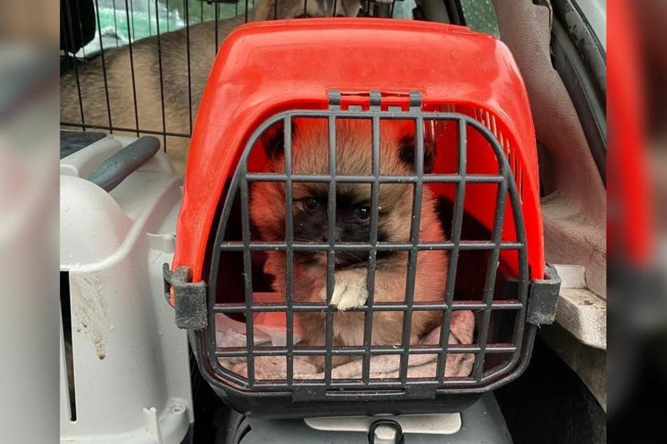 Ein Zwergspitz sitzt in einer engen Transportbox und legt seine kleine Pfote auf das Gitter.