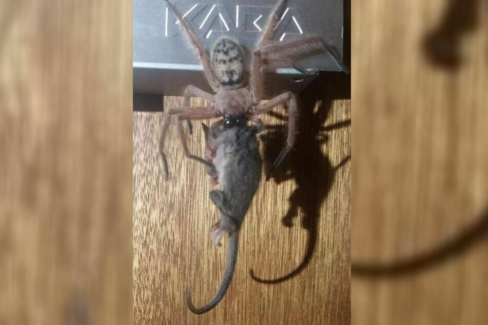 Die Spinne fraß ein Possum-Baby.