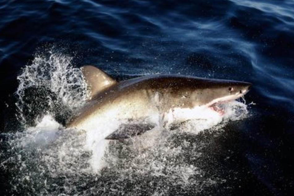 Aus dem Nichts sprang plötzlich ein Weißer Hai auf das Fischerboot des Mannes. (Symbolbild)