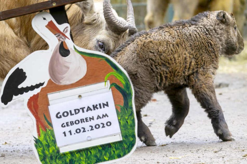 Dresden: Wie niedlich! Dresdner Zoo freut sich über Nachwuchs bei den Goldtakinen