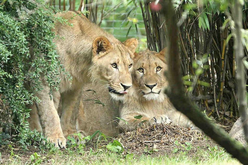 Majo undMotshegetsi sind erst seit Mitte August 2016 im Leipziger Zoo.
