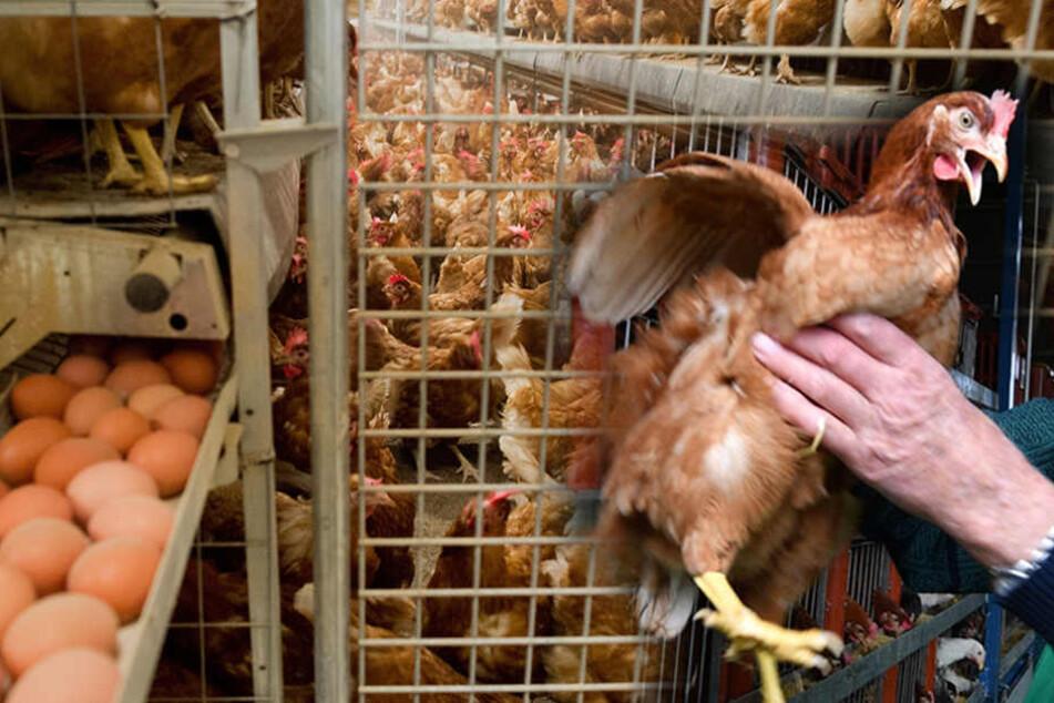 Warnung! Belastete Gift-Eier nun auch in Sachsen