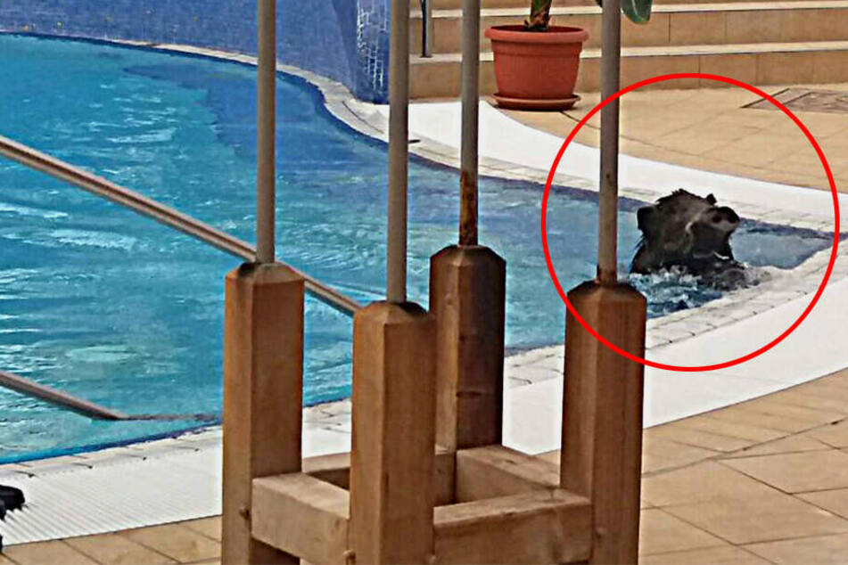 Was für eine Sauerei! Was macht dieses Wildschwein im Schwimmbad?