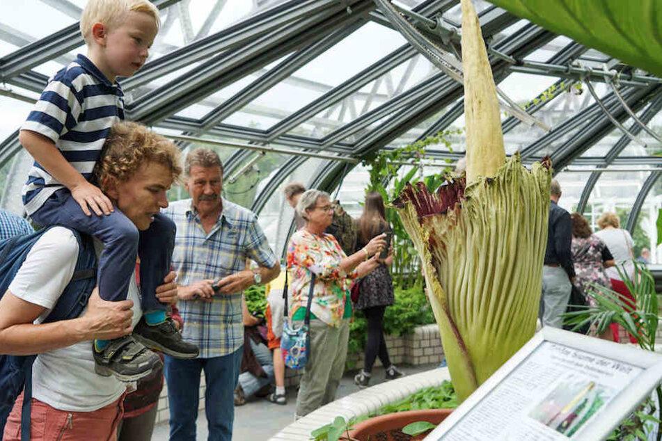 Die Besucher im Botanischen Garten bestaunen das seltene Naturschauspiel.