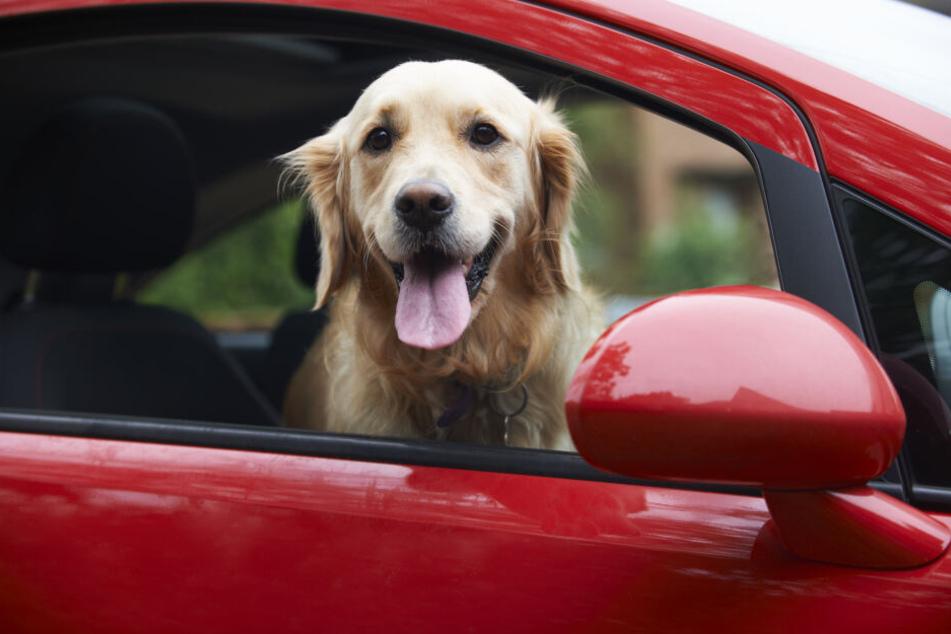 Ein Golden Retriever schaut aus einem Autofenster heraus. Wenn die Fahrt losgeht, muss das Tier entsprechend gesichert werden.