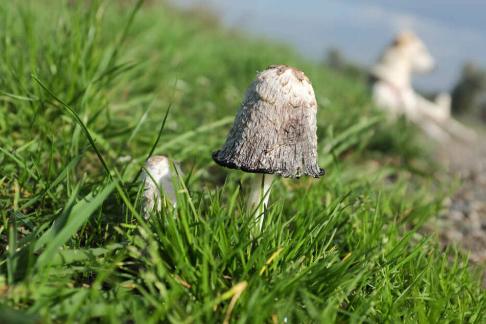 Durch den Regen der vorigen Wochen gibt es in NRW wieder viele Pilze.