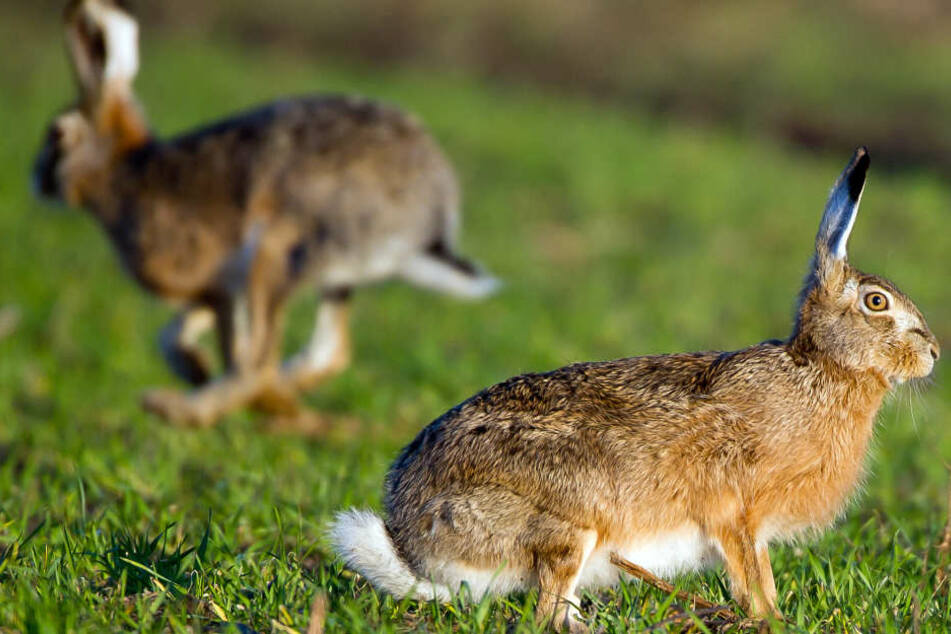 Die Jäger hatten in Bayern im Landkreis Schwandorf mehrere Hasen erlegt. (Symbolbild)