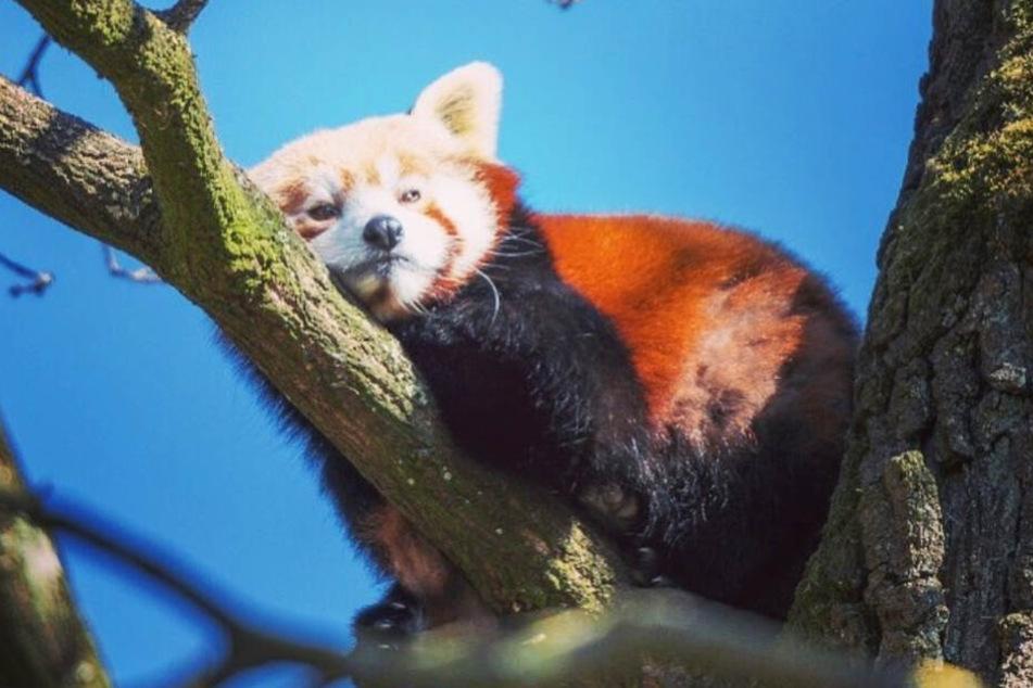 Der Rote Panda genießt die Sonne im Schweriner Zoo auf einem Baumstamm.