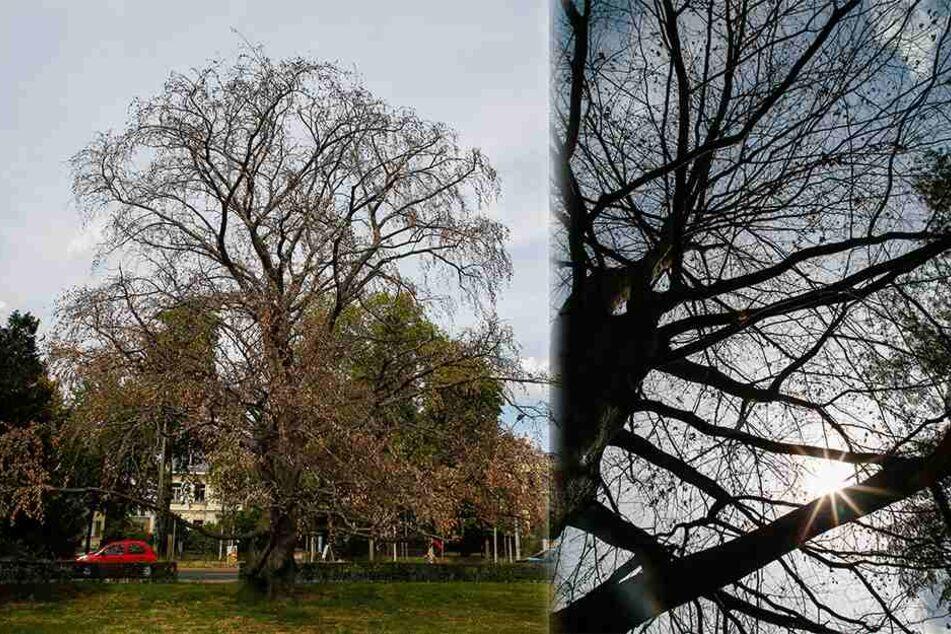 Hitze, Bakterien, Krankheiten: So schlimm steht es um unsere Bäume