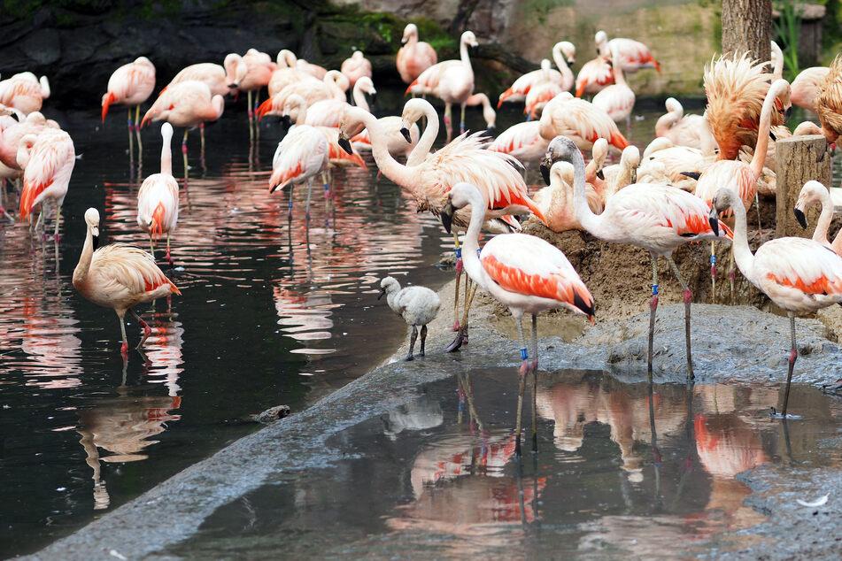 Die Flamingos im Zoo Leipzig haben niedlichen Nachwuchs bekommen.