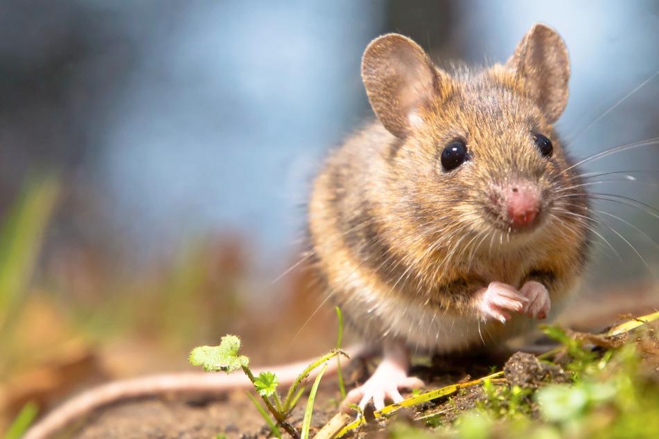 Mäuse können schwimmen! Doch was macht die Tierwelt bei Hochwasser?