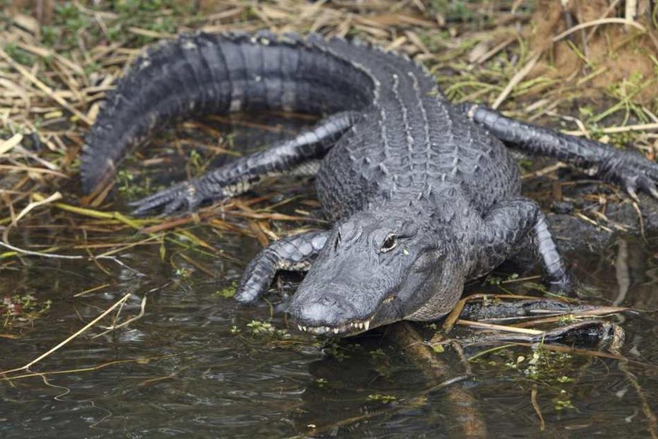 Nach anhaltenden Regenfällen im Süden Thailands sind mindestens zehn Krokodile aus einem Zoo entkommen (Symbolbild).