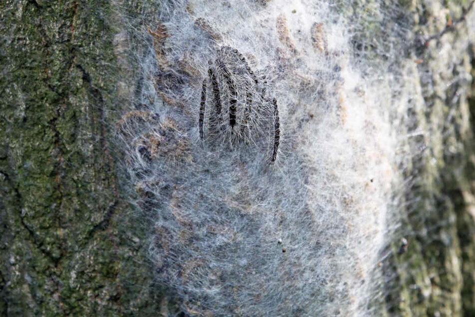 Das Foto aus dem Jahr 2014 zeigt eines der typischen Nester der Raupen des Eichenprozessionsspinners.