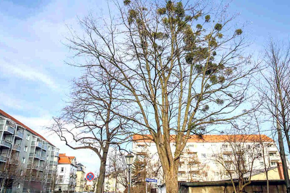 In der kommenden Woche sind die Baumpfleger in der Wittenberger Straße aktiv. An vier Birken sollen dort 36 Misteln weg.