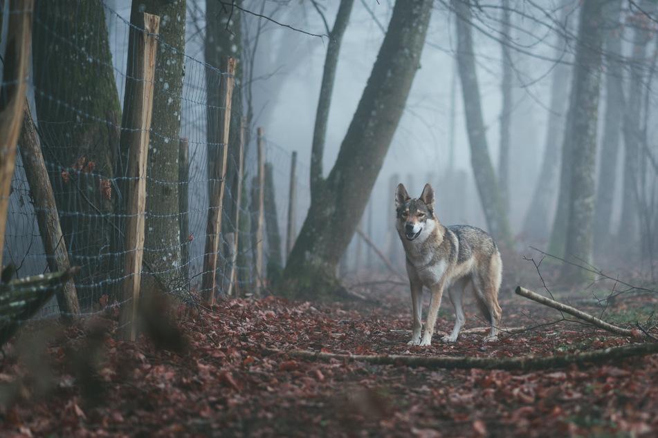 Begegnungen zwischen Mensch und Wolf sind in Deutschland selten. (Symbolbild)