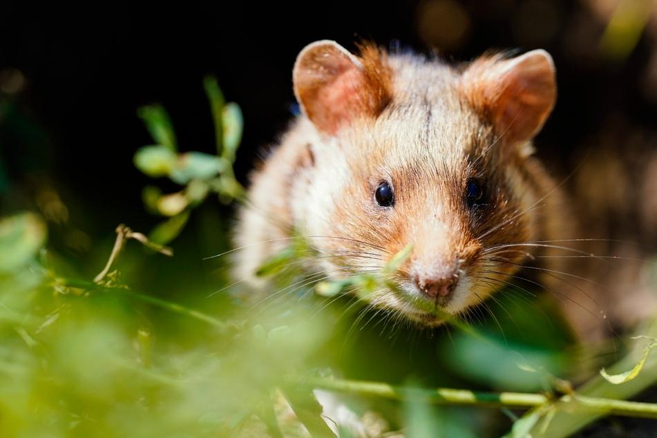 So viele Säugetier-Arten gibt es in Deutschland: Viele sind bedroht!