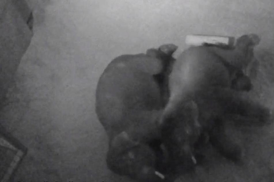Niedlich! Diese beiden Dickhäuter kuscheln in der Löffelchen-Stellung.