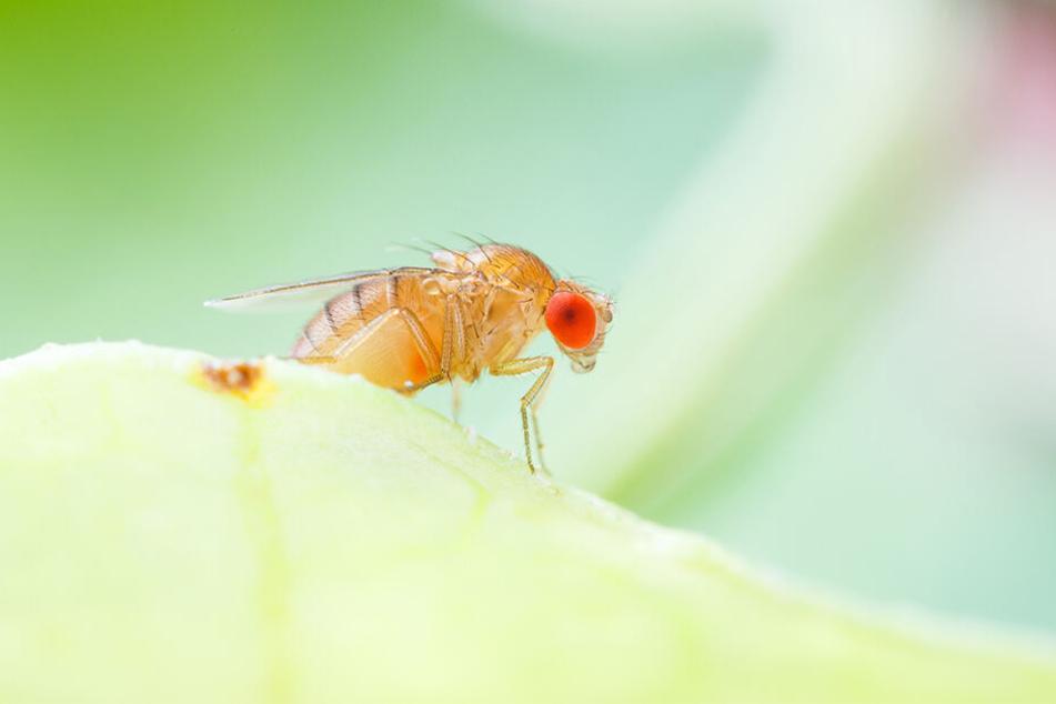 Die Behörden müssen nun klären, ob es sich bei der entdeckten Fruchtfliege um ein einzelnes Tier handelt oder ob es noch mehr davon gibt.