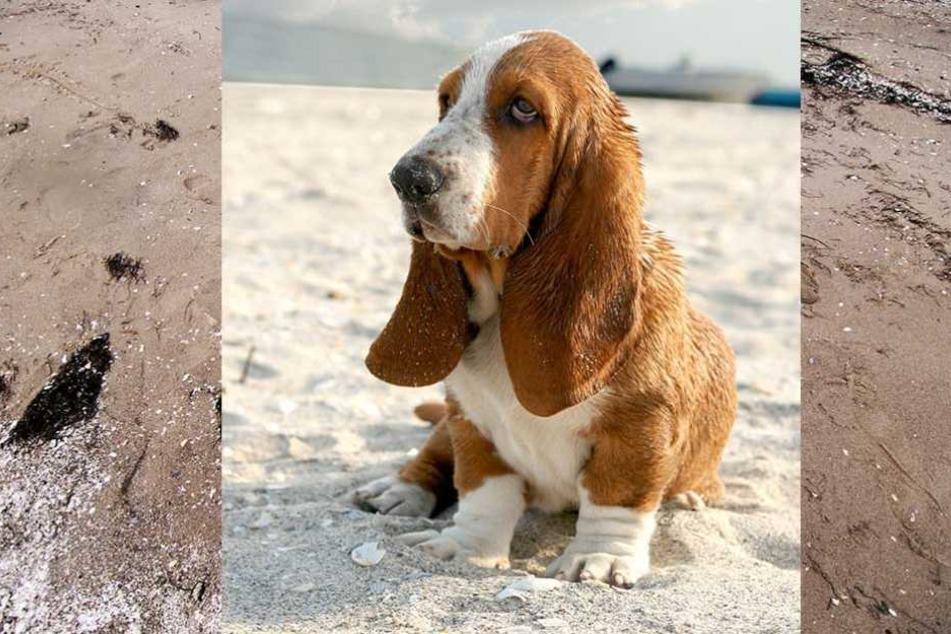 Eine Basset Hündin machte an einem englischen Strand eine Gruselfund (Symbolbild).