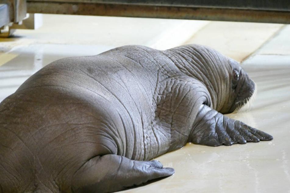 Das neugeborene Walross wiegt etwa 55 Kilogramm.