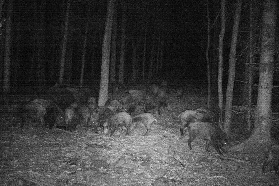 Gemeinsam sind sie stark: Diese Nachtaufnahme zeigt eine außergewöhnlich große Rotte beim Fressen.